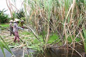 Hậu Giang: Hàng ngàn hécta mía bị ngập trong nước lũ