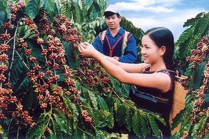 Xuất khẩu cà phê: Trăn trở về giá