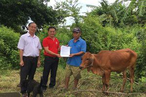 Bình Dương: Bàn giao bò sinh sản cho người nghèo
