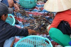 Nông dân Cà Mau trúng đậm tôm càng xanh trái vụ