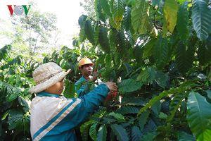 Mô hình hợp tác xã hỗ trợ bao tiêu sản phẩm cho nông dân Đắk Lắk