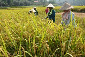 Gạo Bạch Hà được cấp nhãn hiệu độc quyền