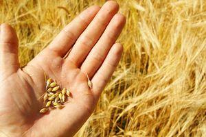 Cấm nhập lúa mì lẫn hạt cỏ: Ý kiến trái chiều