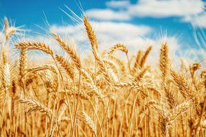 Xung quanh việc cấm nhập lúa mì lẫn hạt cỏ: Nên lùi thời gian áp dụng