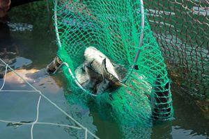 Quảng Ngãi: Cá chết nghi bị 'sốc' do thay đổi môi trường đột ngột