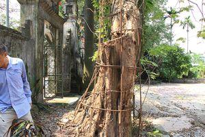 Cận cảnh 'cây sưa trăm tỉ' ở chùa Vĩnh Phúc, Hà Nội