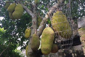 Dân mạng thèm thuồng cây mít 'đông con', quả to nhất 40kg phải dùng sọt bằng thép đỡ