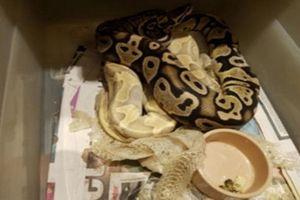 Bị bắt vì nuôi nhốt trái phép các loại rắn và cá sấu dài 1,2 m suốt nhiều năm