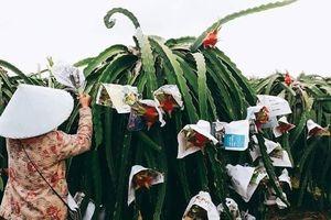 Tại sao thanh long Việt Nam lại chọn thị trường Trung Quốc để tiêu thụ?