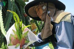 Người trồng thanh long bọc báo quanh trái chín chờ giá lên