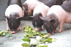 Chuyện nuôi lợn dưới chân núi Sắng