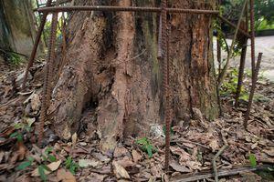 Cây sưa đỏ 130 tuổi được định giá 50 tỷ ở Hà Nội