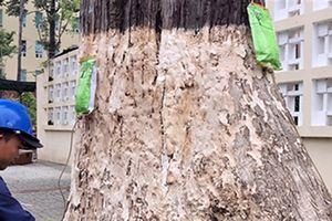 Truyền nước của Tây cứu 1.000 cây cổ: Hồi sinh kì diệu