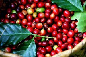 Giá nông sản hôm nay 10/10: Tiêu tăng lên 56.000 đồng/kg, cà phê tiến dần mốc 37.000 đồng/kg