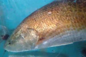 Thêm ngư dân Huế bắt được cá lạ nghi cá sủ vàng