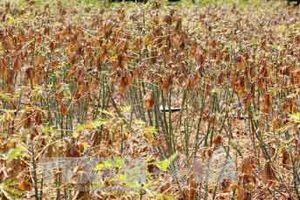 Nhiều diện tích sắn ở Bình Phước bị bệnh khảm lá