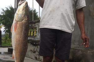 Ngư dân Huế lại câu được cá lạ nghi sủ vàng quý hiếm