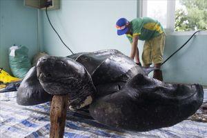 Lý Sơn: Phục dựng tiêu bản rùa quý trên đảo