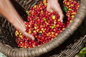 Giá cà phê và tiêu đồng loạt tăng
