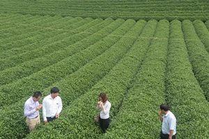 Sơn La: Hướng đến thương hiệu Chè Phổng Lái Thuận Châu