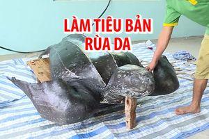 Cận cảnh làm tiêu bản rùa da cực quý hiếm trên đảo Lý Sơn