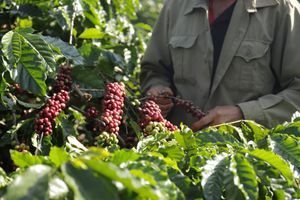 Để cà phê Việt chuẩn quốc tế, phải có người trồng theo UTZ