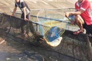 Độc đáo: Nuôi cá dày đặc trong lồng nhựa, sau 4 tháng thu 1 tỷ
