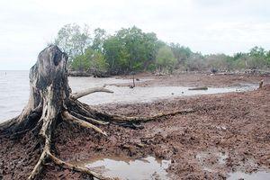 Hằng năm tỉnh Cà Mau mất khoảng 400 - 500ha rừng phòng hộ do sạt lở