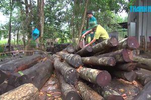 Cận cảnh khoảnh rừng bị đốn hạ không thương tiếc tại Bình Phước