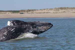 Cá voi xám đang bị đe dọa