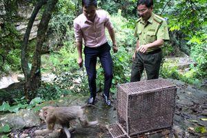 Quảng Ninh: Thả 1 cá thể khỉ đuôi lợn về môi trường tự nhiên