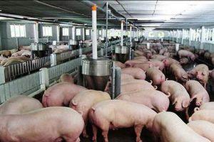 Nỗi lo từ thịt lợn hơi tăng giá