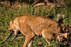 Sư tử cướp con mồi bị linh cẩu đánh chạy te tua