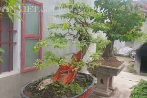 'Cụ' hoa giấy dáng 'siêu phàm', còi dí mà giá hơn 100 triệu ở Nam Định