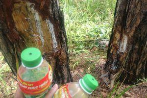 Tạm giữ 2 nghi can 'đầu độc' rừng thông 3 lá