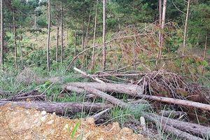 Thủ phạm bơm hóa chất đầu độc gần 4ha rừng thông bị bắt