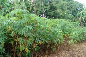 Bệnh khảm lá trên cây sắn khiến người dân Bình Phước lao đao