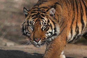 Bất ngờ: mua bán hổ nuôi ở Liên minh châu Âu vẫn hợp pháp