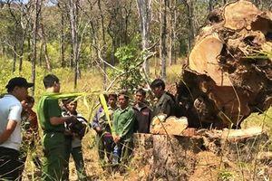 Truy tố 15 bị can chặt hạ gỗ quý trong Vườn quốc gia Yók Đôn
