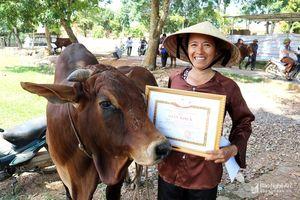 Hội thi bò béo, bò đẹp ở 'xứ nhút'