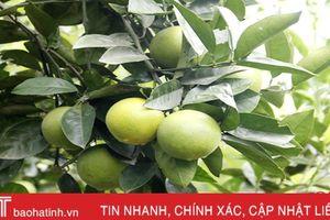 Người trồng cam Thượng Lộc dự kiến 'bỏ túi' gần 100 tỷ đồng