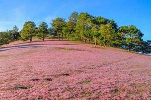 Lâm Đồng: sắp có 'Mùa hội cỏ hồng Lang Biang'