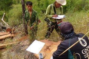 Vườn quốc gia Yok Đôn bị khai thác gỗ quý: Truy tố 15 bị can