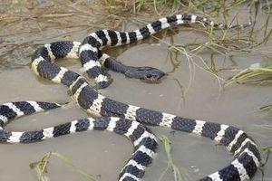 Đầu tư thua lỗ, thanh niên mua rắn độc về tự sát