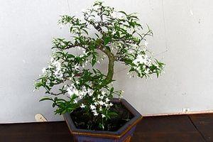 Trang trí nhà với bonsai mai chiếu thủy mini dáng độc