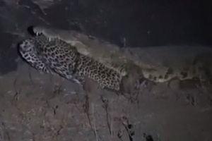 Cá sấu 'khủng' sông Nile ăn thịt báo hoa mai