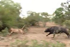Cái kết 'nhục' của sư tử khi đuổi theo bầy trâu rừng