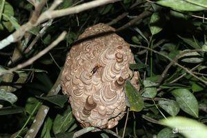 Hung dữ tấn công người - ẩn họa mùa ong vò vẽ miền Tây Nghệ An