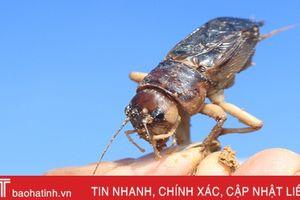 Mùa câu dế cơm ở miền núi Hà Tĩnh