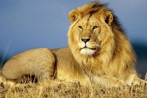 Câu chuyện về con sư tử và bài học dành cho người tham lam